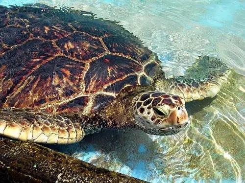 gambar reptil penyu hijau