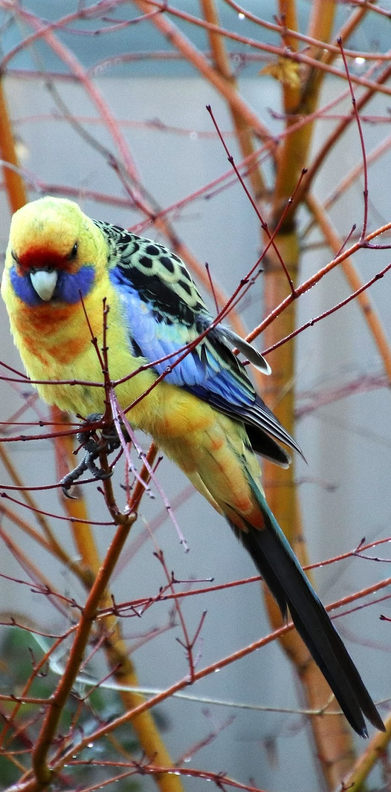 Picture of a green rosella.