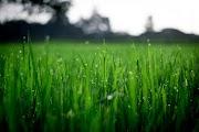 Hijaunya Rumput di Rumah Sebelah