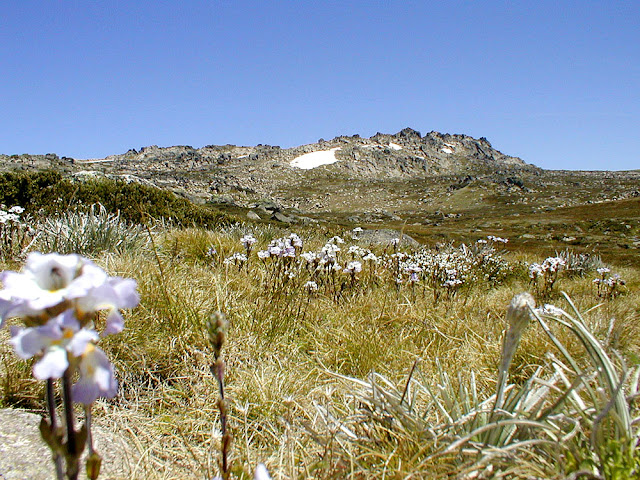 Variable Eyebright Euphrasia collina. Mount Kosciuszko. Australia. Photo by Loire Valley Time Travel.