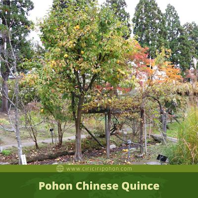Ciri Ciri Pohon Chinese Quince