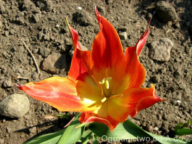 Tulipa 'Aaddin'