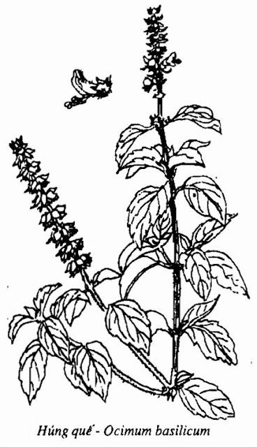 Hình vẽ Húng Quế - Ocimum basilicum - Nguyên liệu làm thuốc Chữa Cảm Sốt