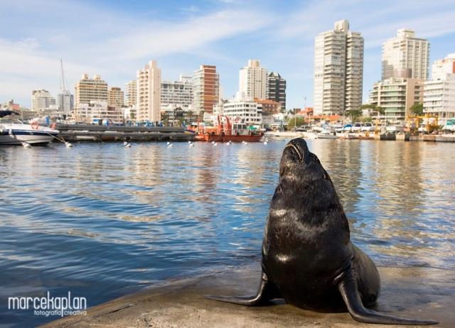Lobos marinos en el puerto de Punta del Este
