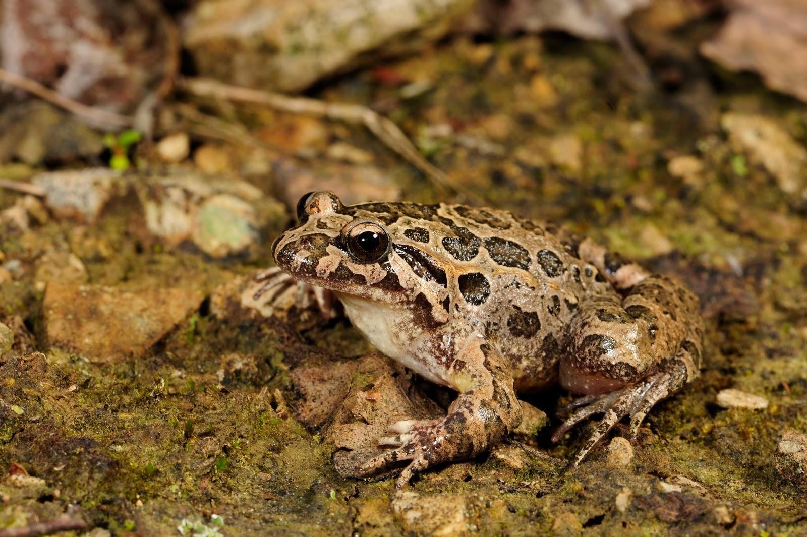 Amphibians: BennyTrapp Cädiz-Scheibenzüngler bzw Iberischer Scheibenzüngler Discoglossus (galganoi) jeannaea