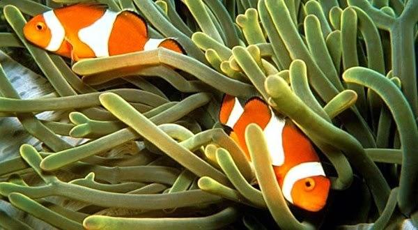 Indonesia Surga Ikan Hias Tropis   Budidaya Ikan