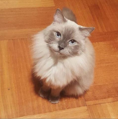gray cat, ragdoll cat