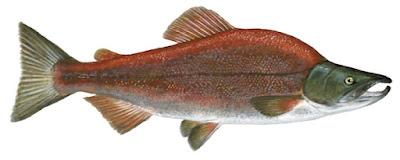 Salmón Rojo
