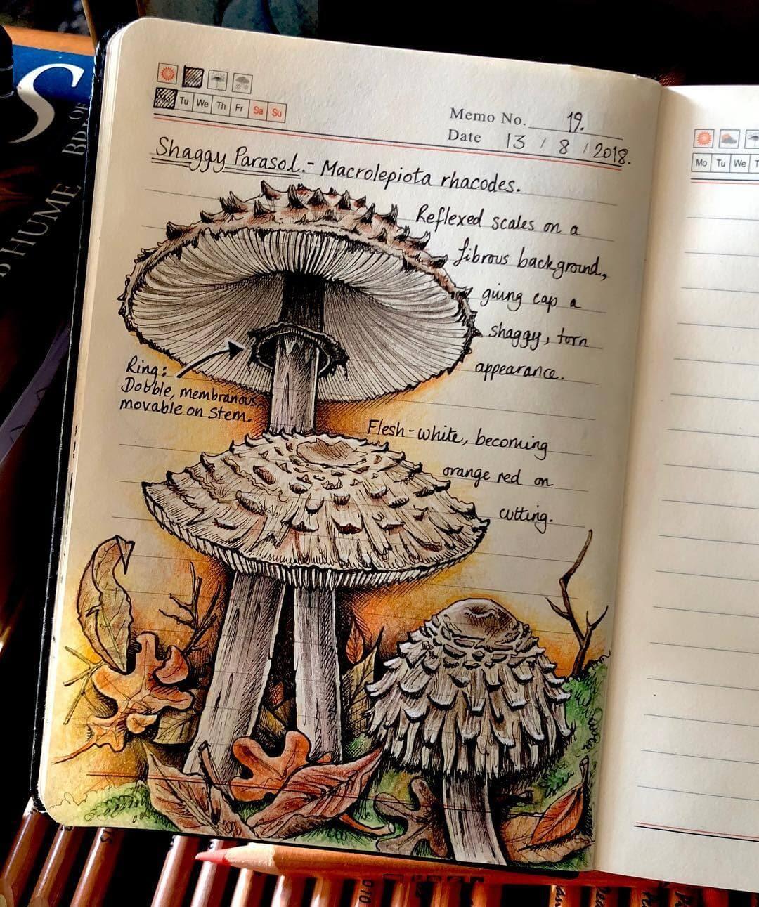 05-Mushroom-Shaggy-Parasol-Macrolepiota-rhacodes-J-Brown-www-designstack-co