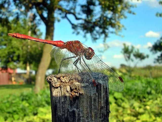 jak fotografować owady, ważki