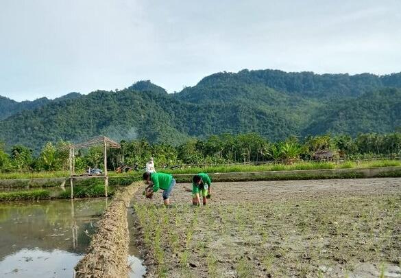 Mahasiswa KKN UNIMAL Ikut Membantu Proses Penanaman Padi Unggul di Desa Panton Bili