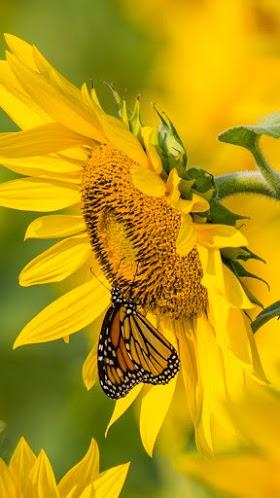 Hoa hướng dương và bướm