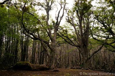 Bosque en el Parque Nacional.de Tierra del Fuego, Ushuaia, Argentina.