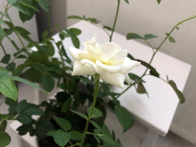 Ruukkuruusu kukkii toistamiseen