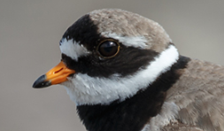 Common Ringed Plover head, yellow orbital ring
