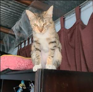 Jaspe mirando desde arriba del mueble de la televisión