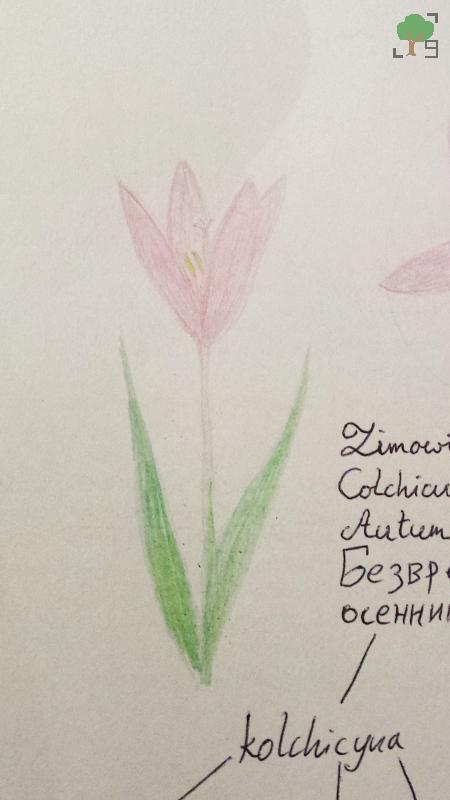 Colchicum autumnale, różowy kwiat, biologia, rysunek, kolchicyna, botanika