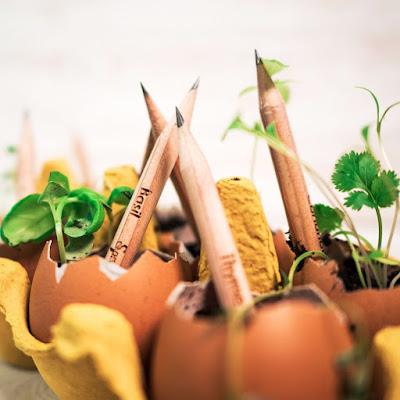 Pengertian Sprout pensil dan cara menanamnya
