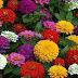 Floarea de cârciumăreasa: Simbol și semnificație