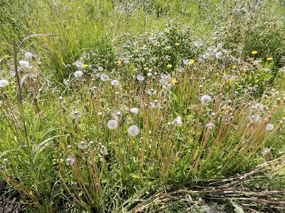 Dandelions - Alaska
