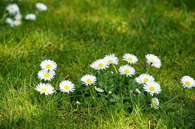 芝生に咲いたデイジー
