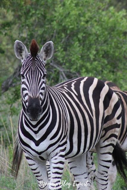 Zebra Preservation Kruger National Park South Africa