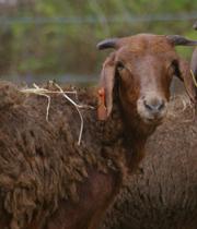 Damara Sheep Characteristics, Weight, Origin, Meat & Wool Quality