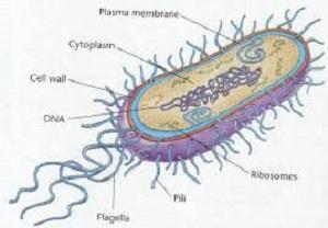 perbedaan antara archaebacteria dengan eubacteria,archaebacteria dan eubacteria ppt,