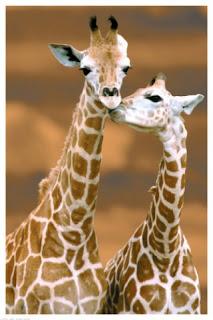 Žirafe pozadine za Apple iPhone besplatne slike download hr