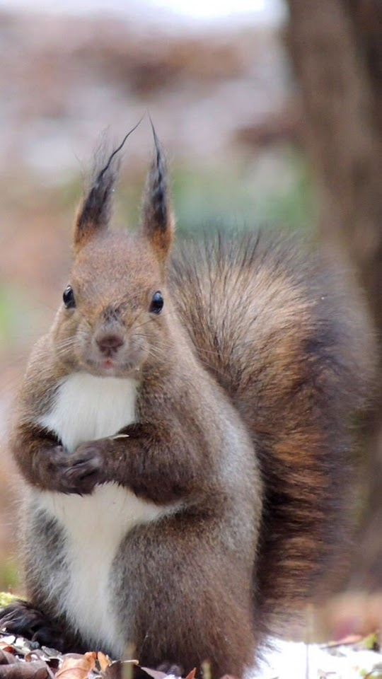Cute Squirrel   Galaxy Note HD Wallpaper