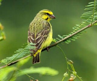 Video Burung Mozambik - Youtube