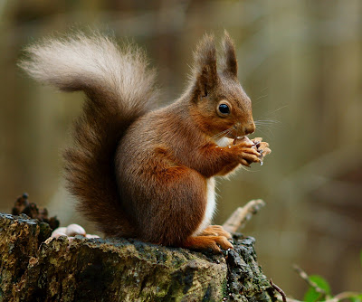 Red Squirrel – answer to question 27 in the quiz. Photo: Peter Trimming