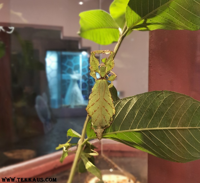 Entopia Penang Stick Leaf Insect