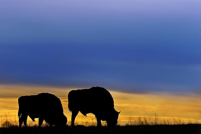 Where the buffalo have evolutionarily roamed