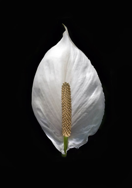 peace lily,peace lily care,peace lily plant care,peace lily plant,peace lily propagation,peace lily in water,peace lily care tips,peace lilly,peace lily indoors,peace lily watering,peace lily problems,peace lily repotting,how to grow peace lily,peace lily fertilizer,peace lily care indoor,propagating peace lily,peace lily yellow leaves,how to care for peace lily,how to care for a peace lily,peace lily bloom,lily,indoor peace lily,peace lily flower,why peace lily dies,peace lily flowers