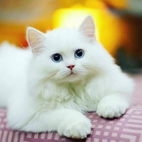 Gambar Kehidupan Gambar Kucing Anggora Lucu Dan Imut Banget