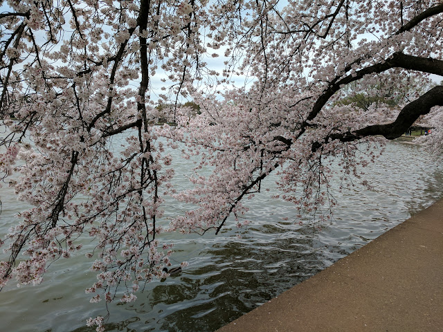 Сакура. Місто Вашинтгтон.(Cherry blossom, Washington, D.C)