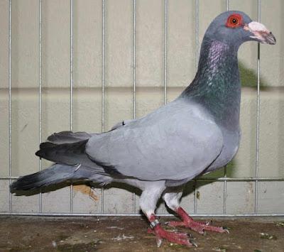 bagdad pigeons-wattle pigeons
