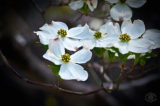 Blooming dogwood flowers on a branch professionally photographed by Cramer Imaging at St. Michael's Cathedral, Boise, Ada, Idaho