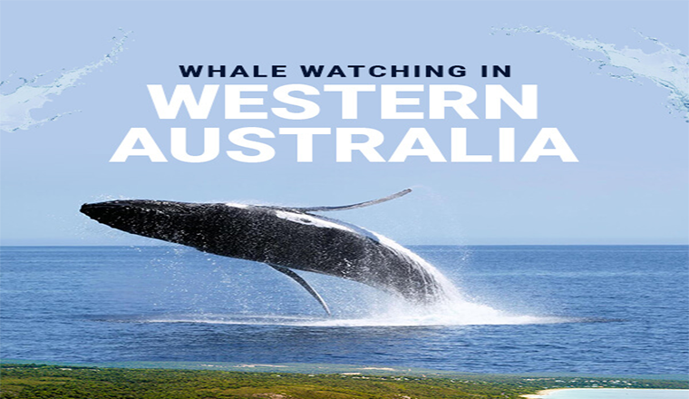 Whale Watching in Western Australia #infographic