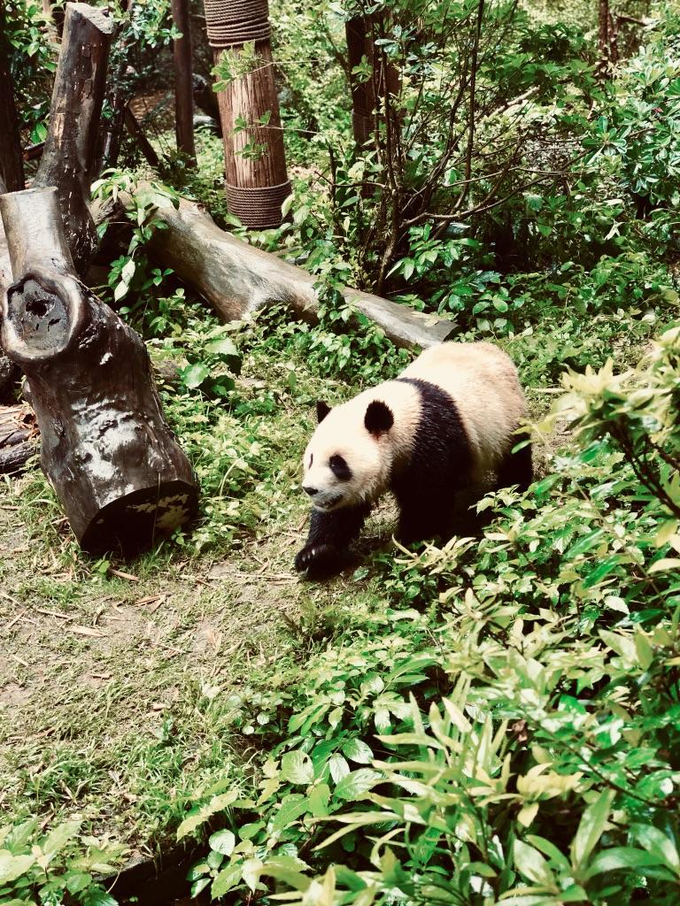 THE PANDAS!