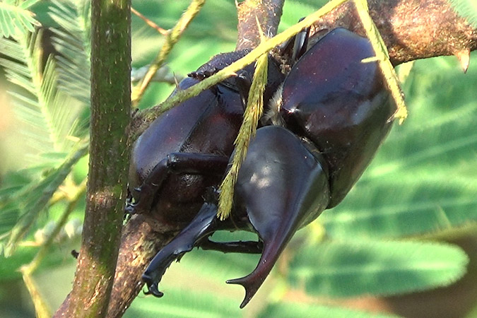 Dlium Brown rhinoceros beetle (Xylotrupes gideon)