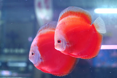 Harga Ikan Discus Red Valentine