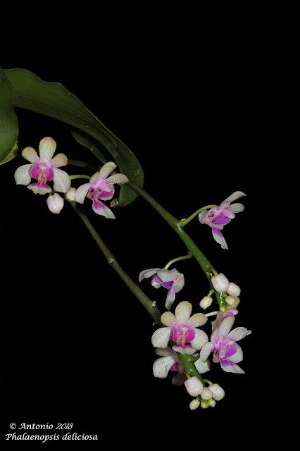 Phalaenopsis delicosa
