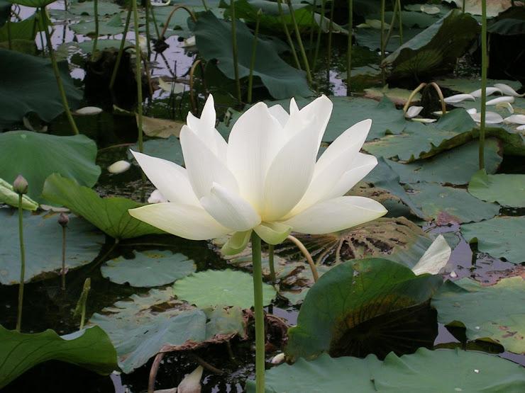 蓮池に咲く花4