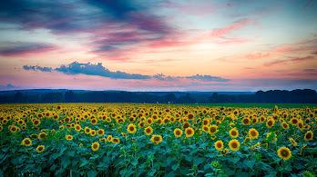 Sunflowers, Flower, Field, Nature, Landscape, Sky, Nature, Scenery,4K, #179