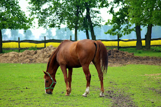 A chestnut horse grazing in a field with a line of trees behind him.