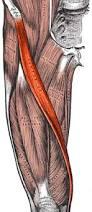 Sartorius- www.physioscare.com