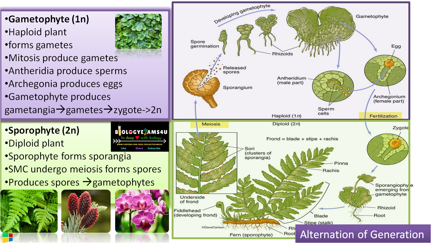 What is Alternation of Generation in Plants? Difference between Gametophyte and Sporophyte with example
