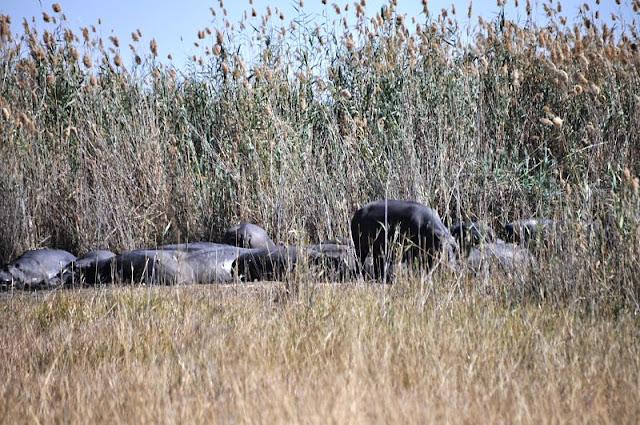 ippopotami nel delta okavango